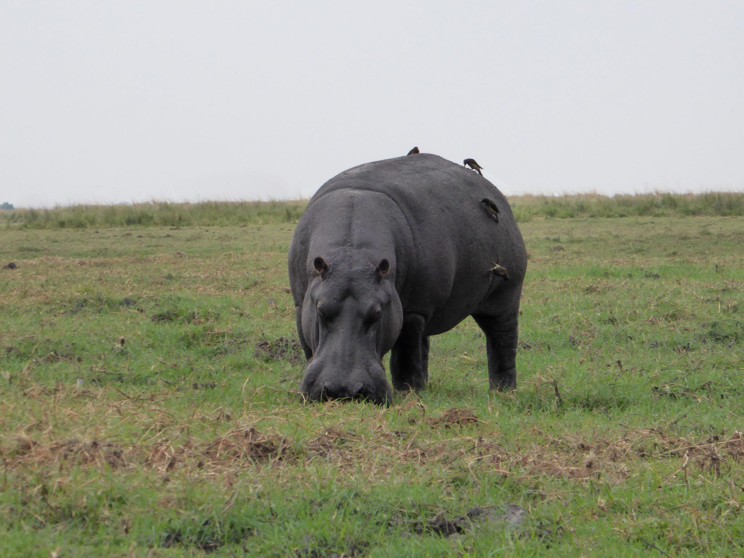 Radreise Afrika 2014 - Chobe NP - Nilpferd
