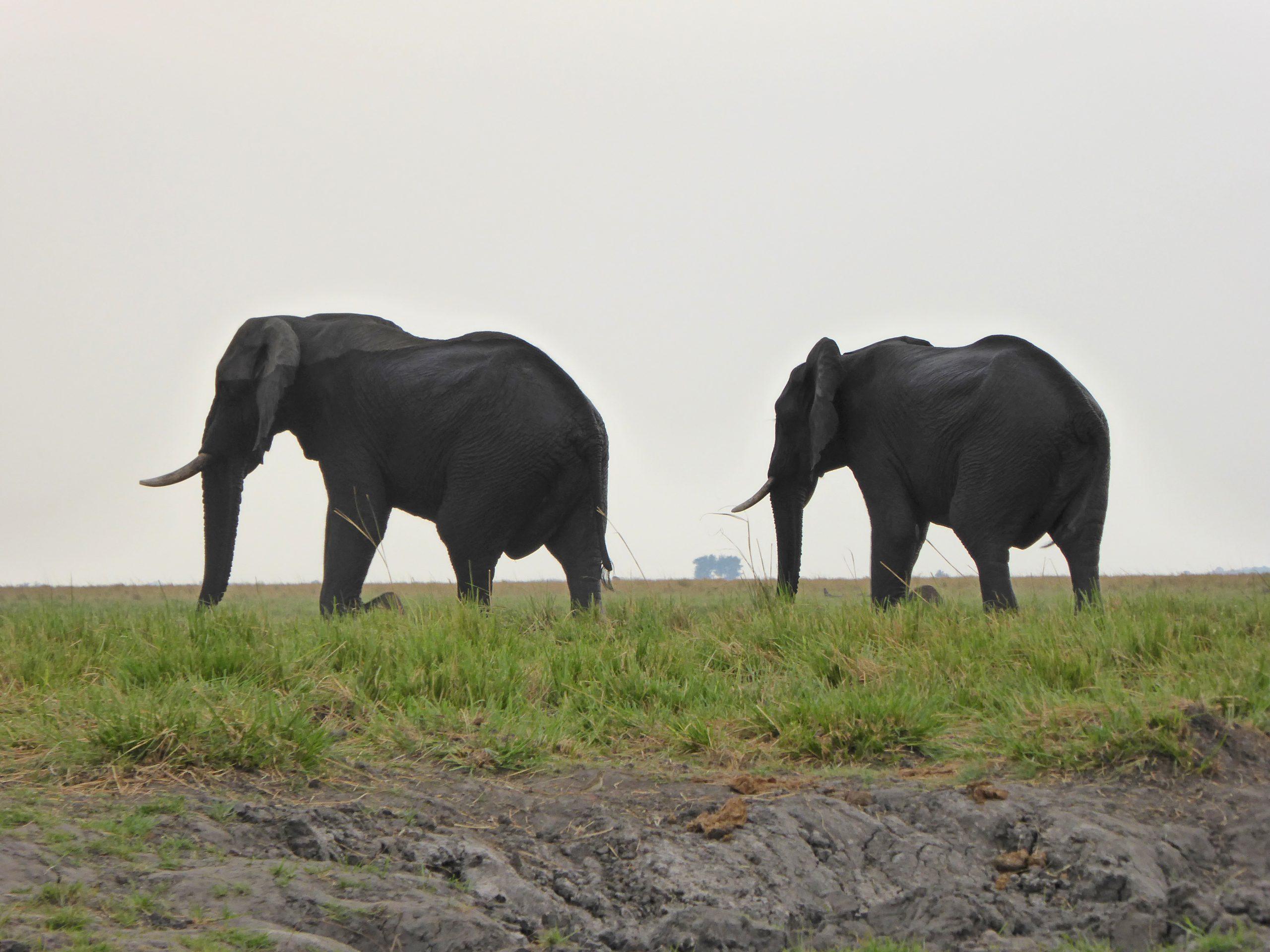 Radreise Afrika 2014 - Chobe NP - Elefanten