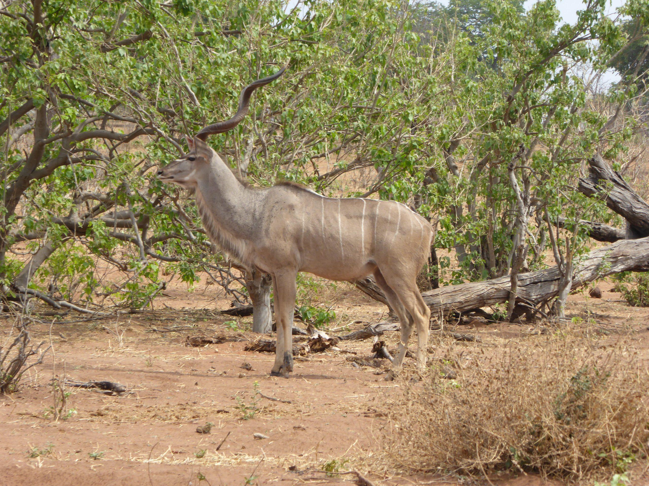 Radreise Afrika 2014 - Chobe NP - Großer Kudu