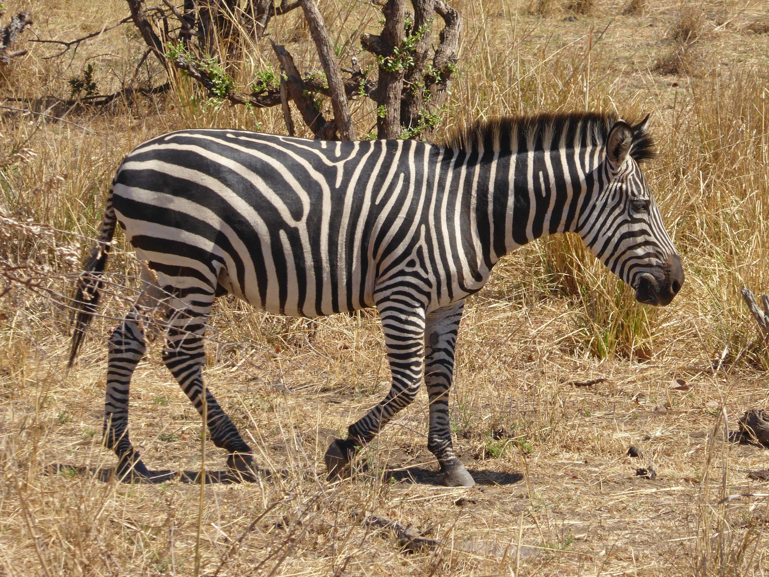 Radreise Afrika 2014 - Mosi-oa-Tunya - Zebra