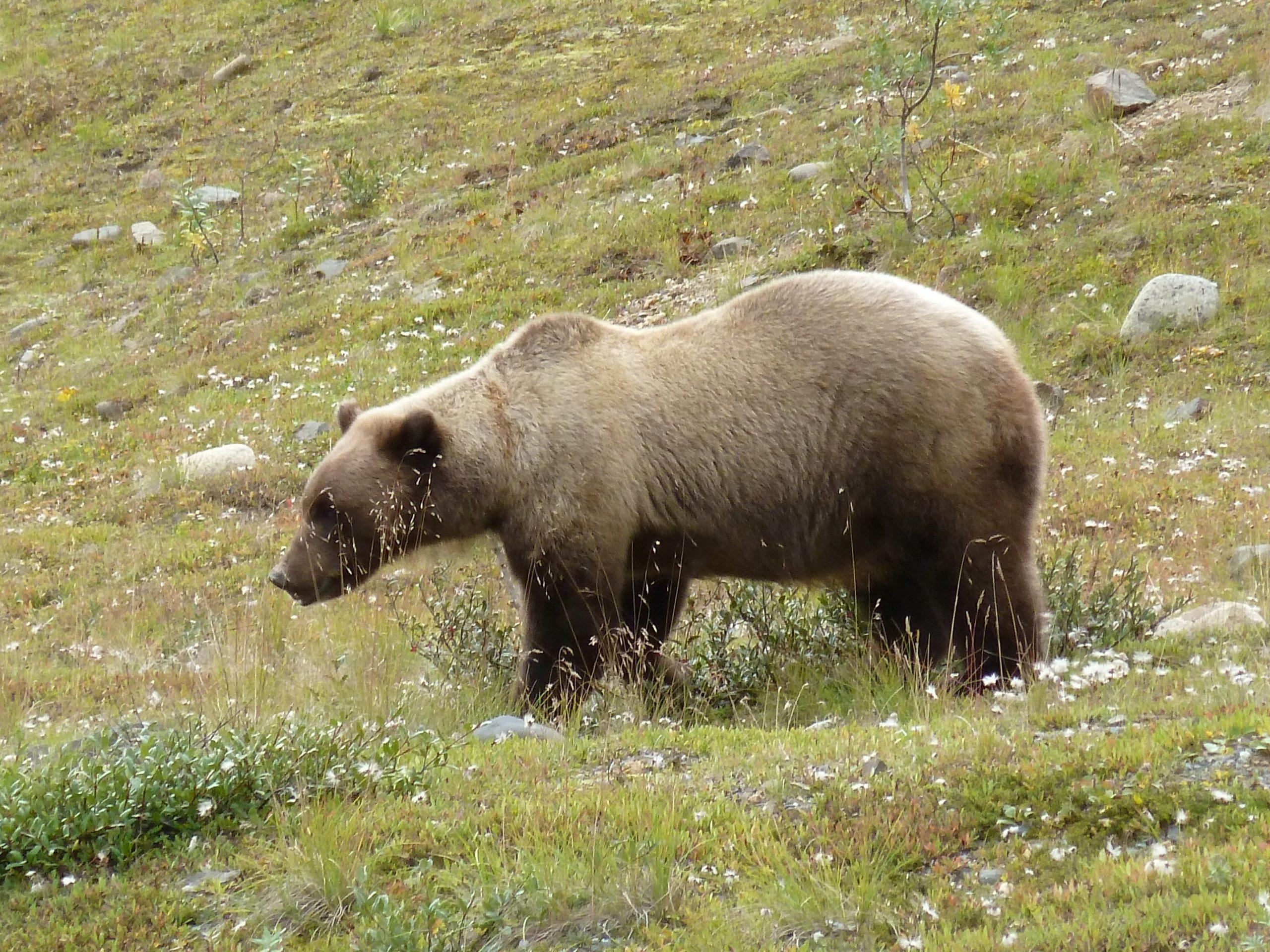Radreise Alaska 2010 - Denali-NP - Bär