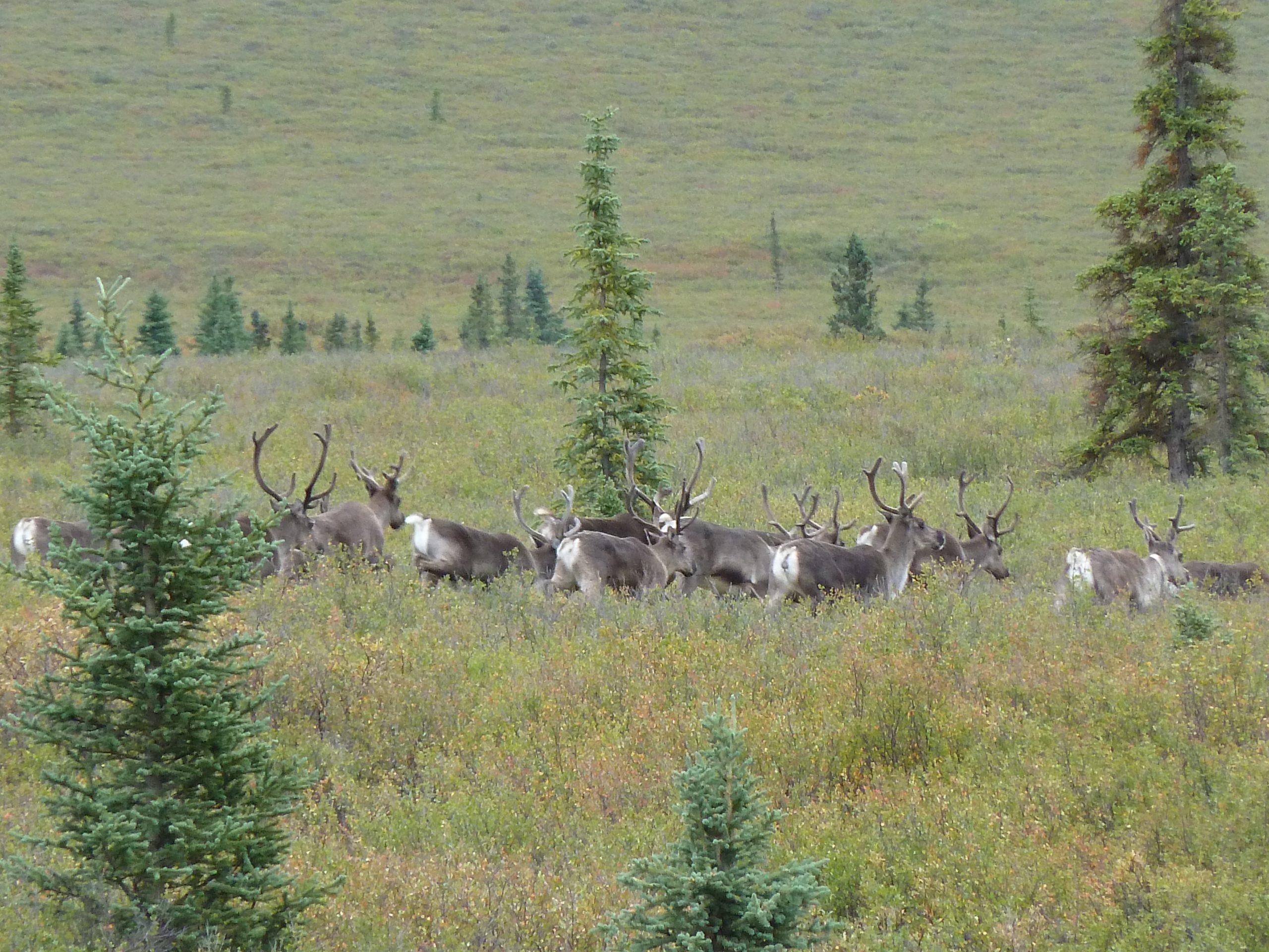 Radreise Alaska 2010 - Denali-NP - Karibu-Herde