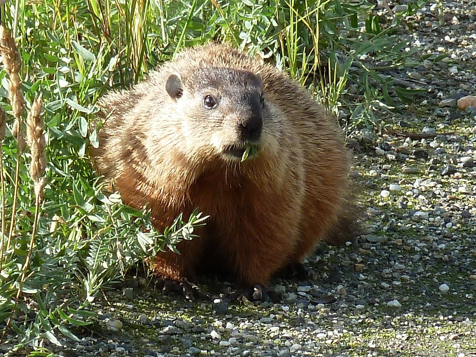 Radreise Alaska 2010 - Murmeltier (Hoary Marmot)