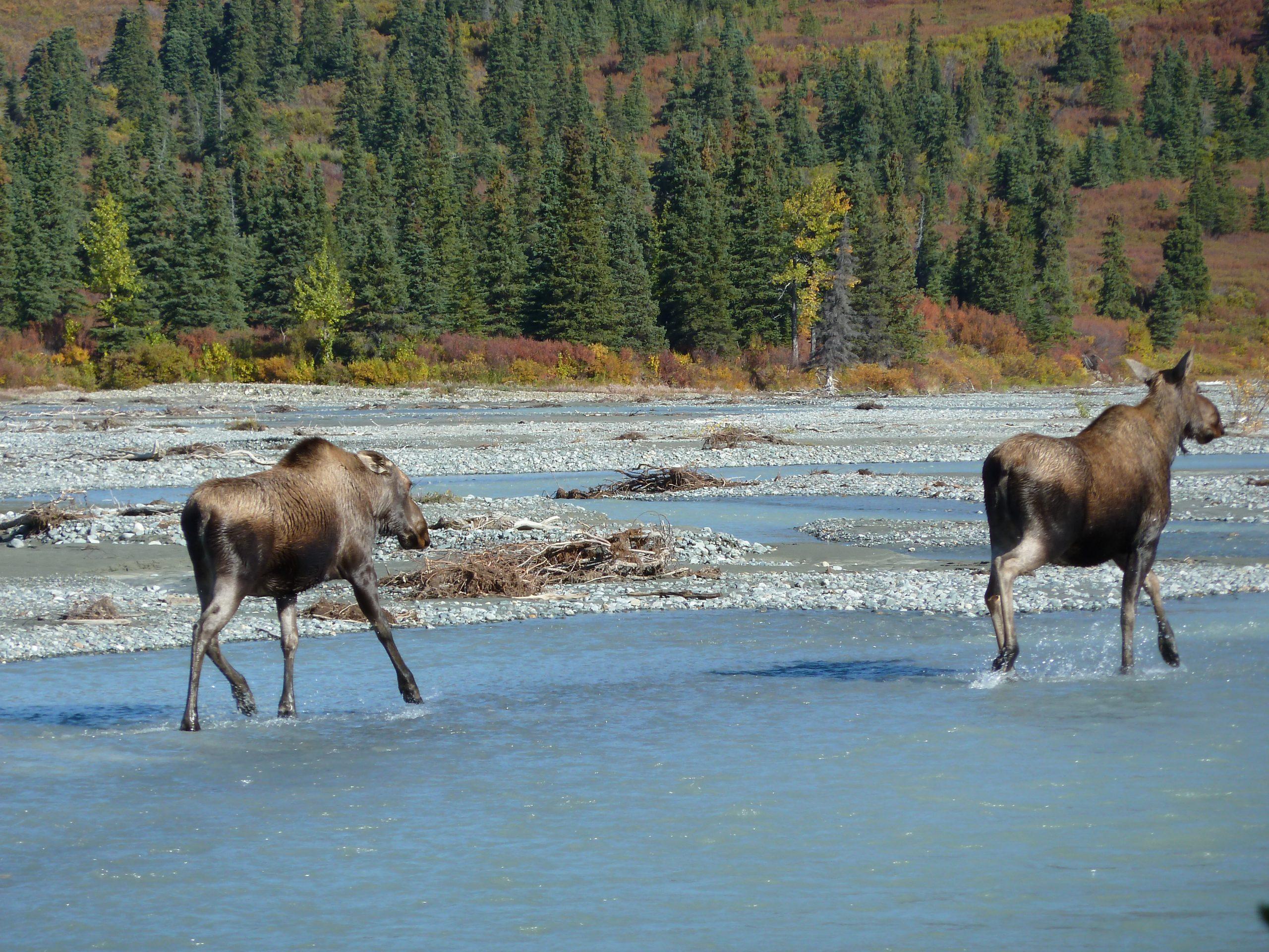 Radreise Alaska 2010 - Elche am Delta River