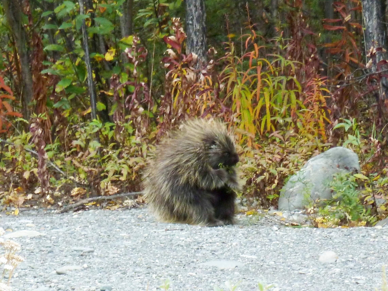 Radreise Alaska 2010 - Stachelschwein (Porcupine)