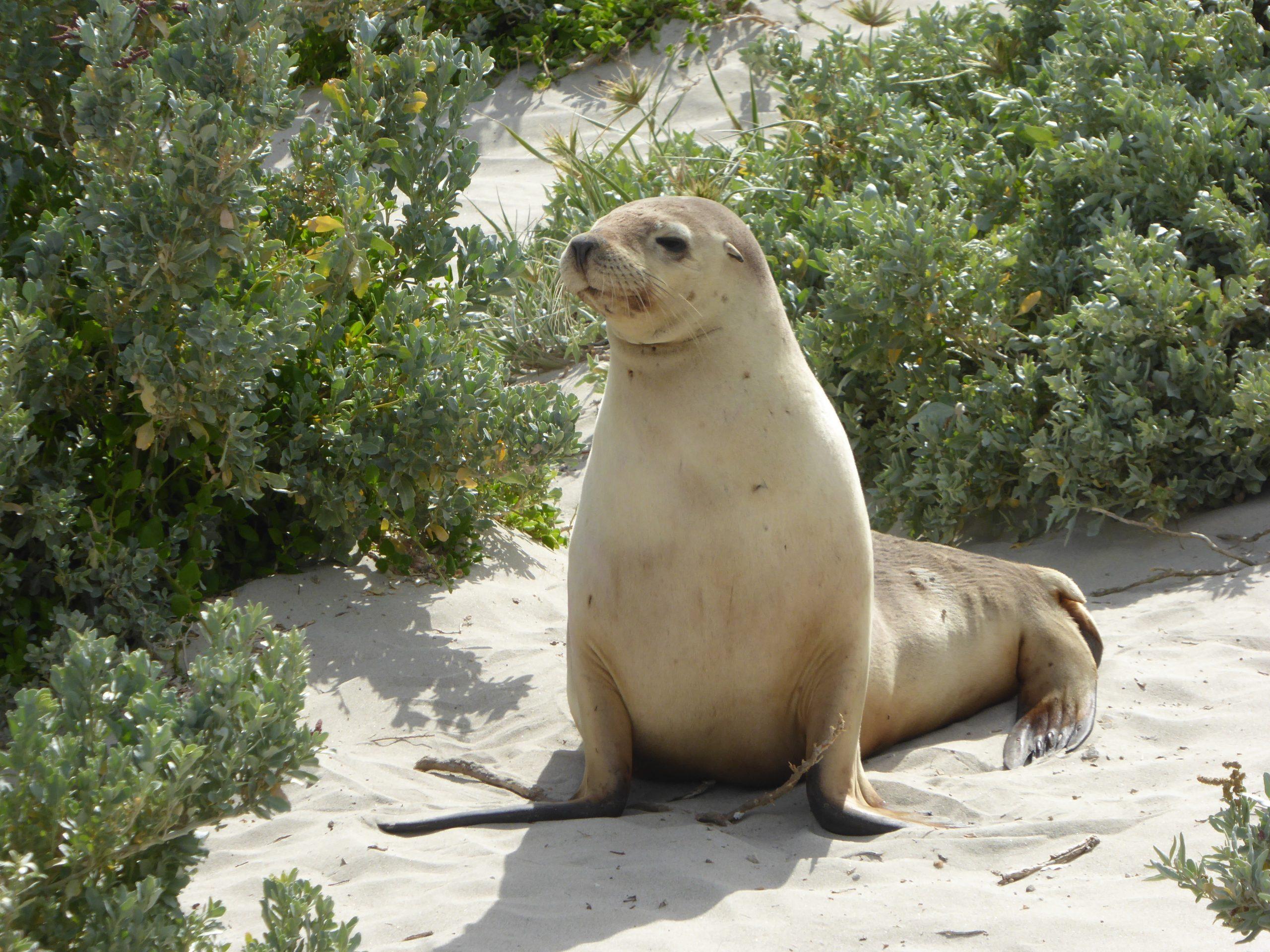 Radreise Australien 2016 - Kangaroo Island - Seelöwe