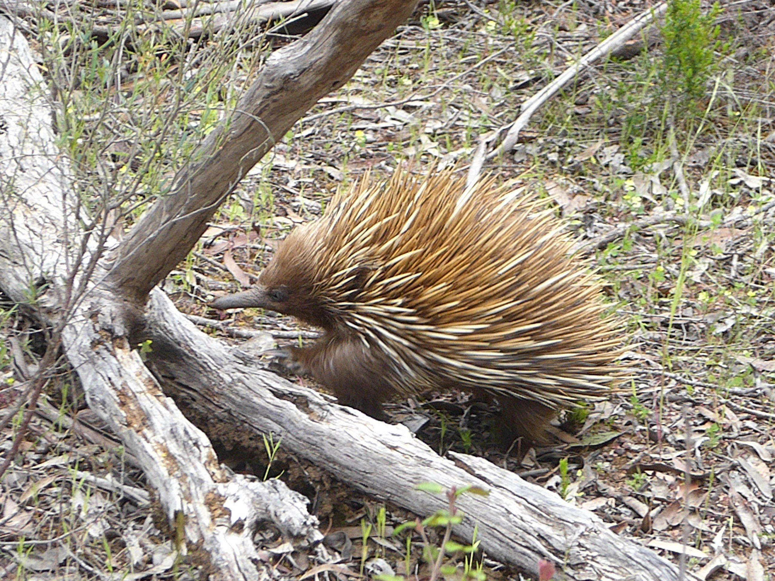 Radreise Australien 2016 - Kangaroo Island - Ameisenigel (Tachyglossidae)