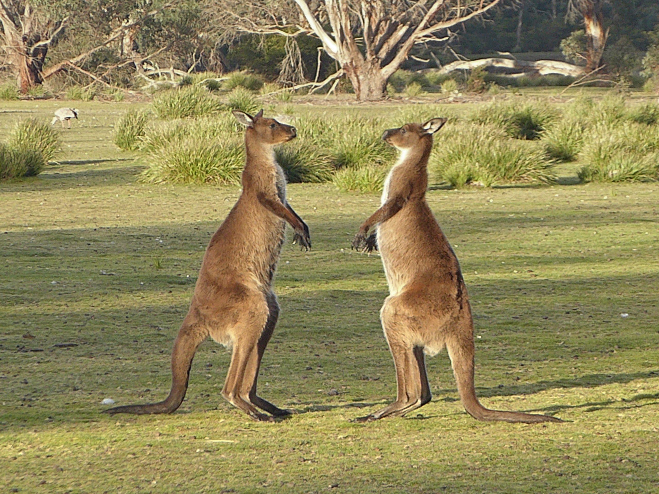 Radreise Australien 2016 - Kangaroo Island - Riesenkängurus (Macropus fuliginosus)