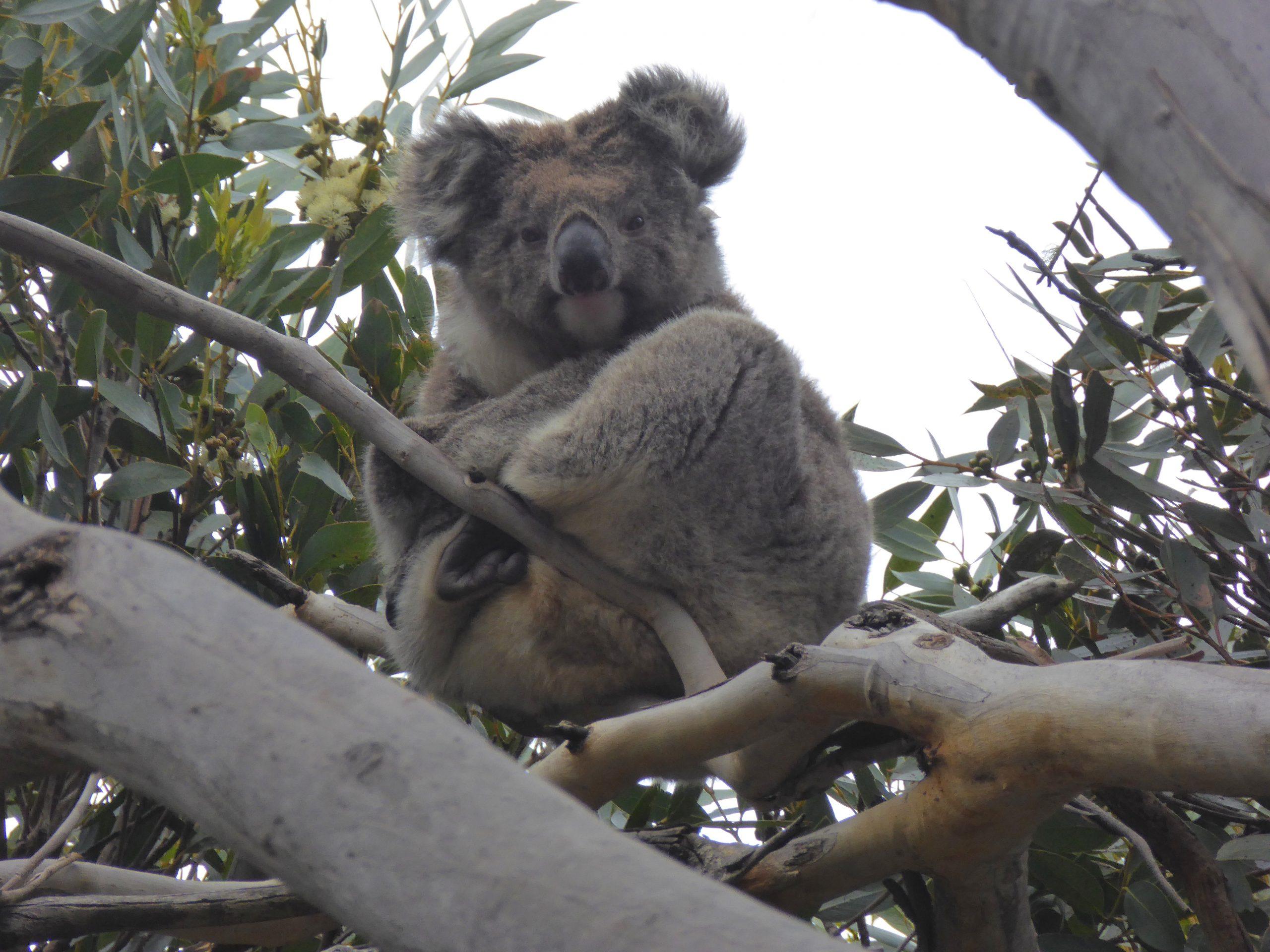 Radreise Australien 2016 - Kangaroo Island - Koala