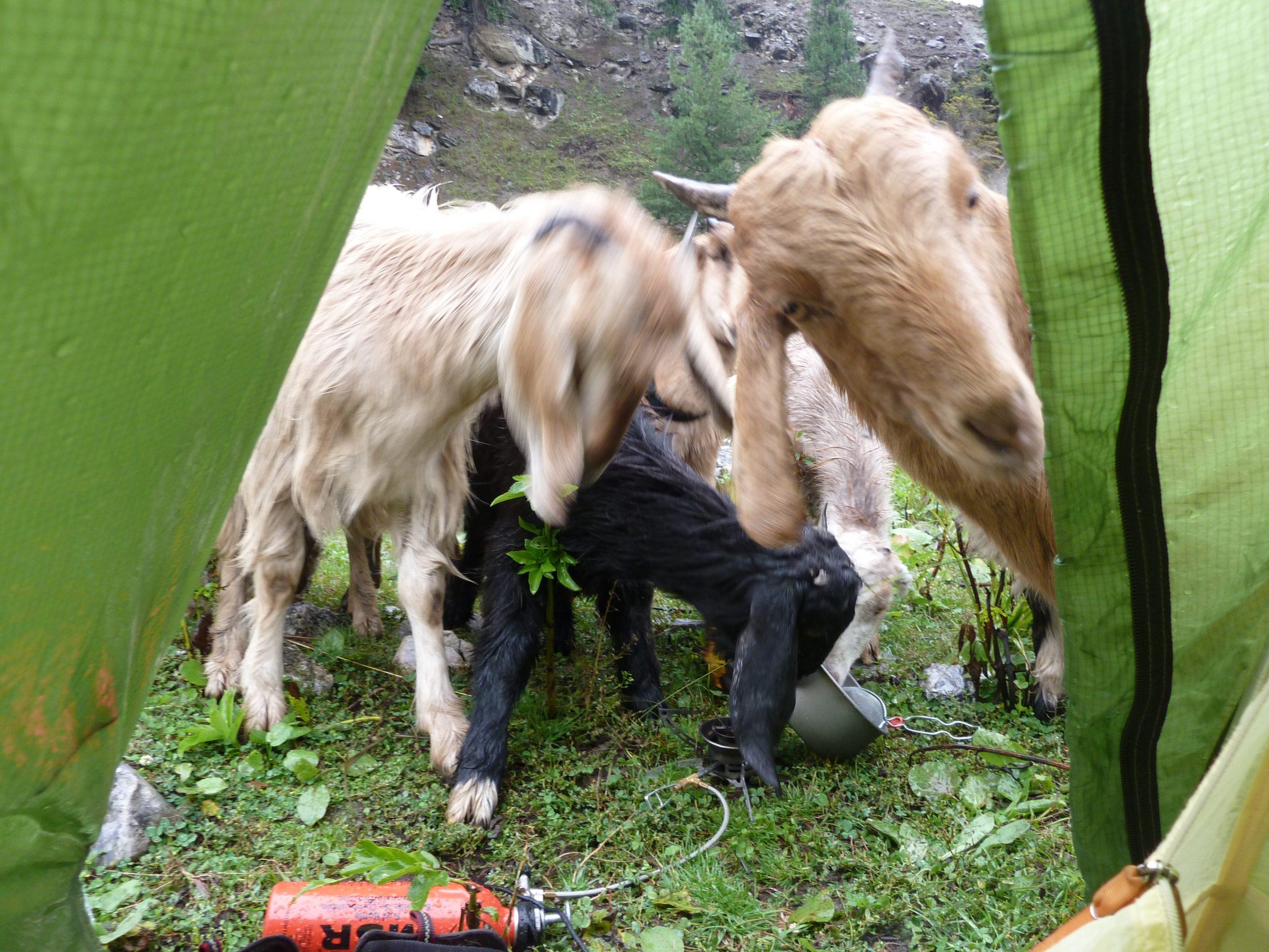 Radreise Ladakh 2012 - Schafe am Zelt