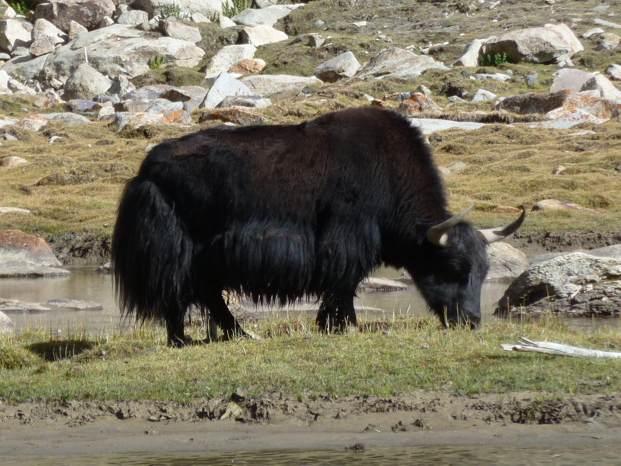 Radreise Ladakh 2012 - Yak am Tsolding Buddha Park