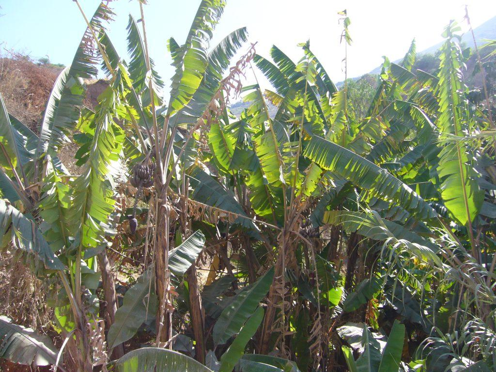 Radreise Peru 2008 - Bananenstauden