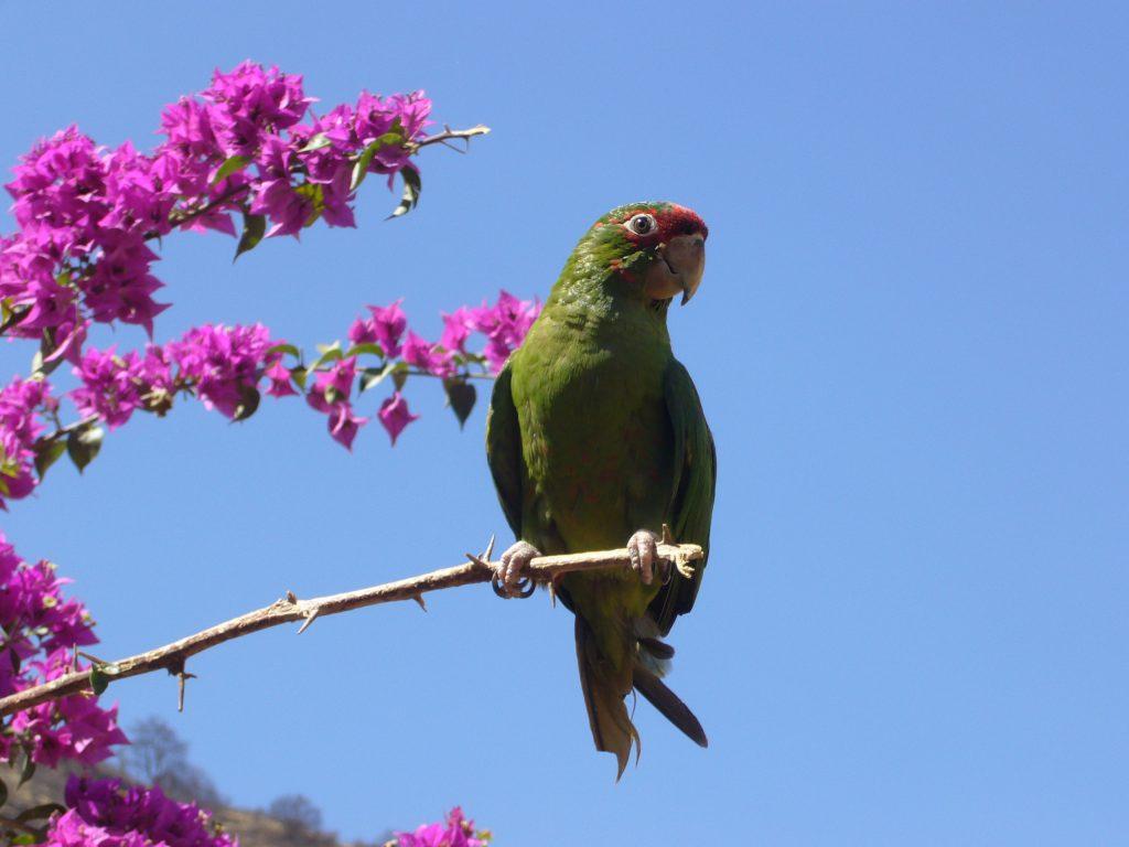 Radreise Peru 2008 - Papagei