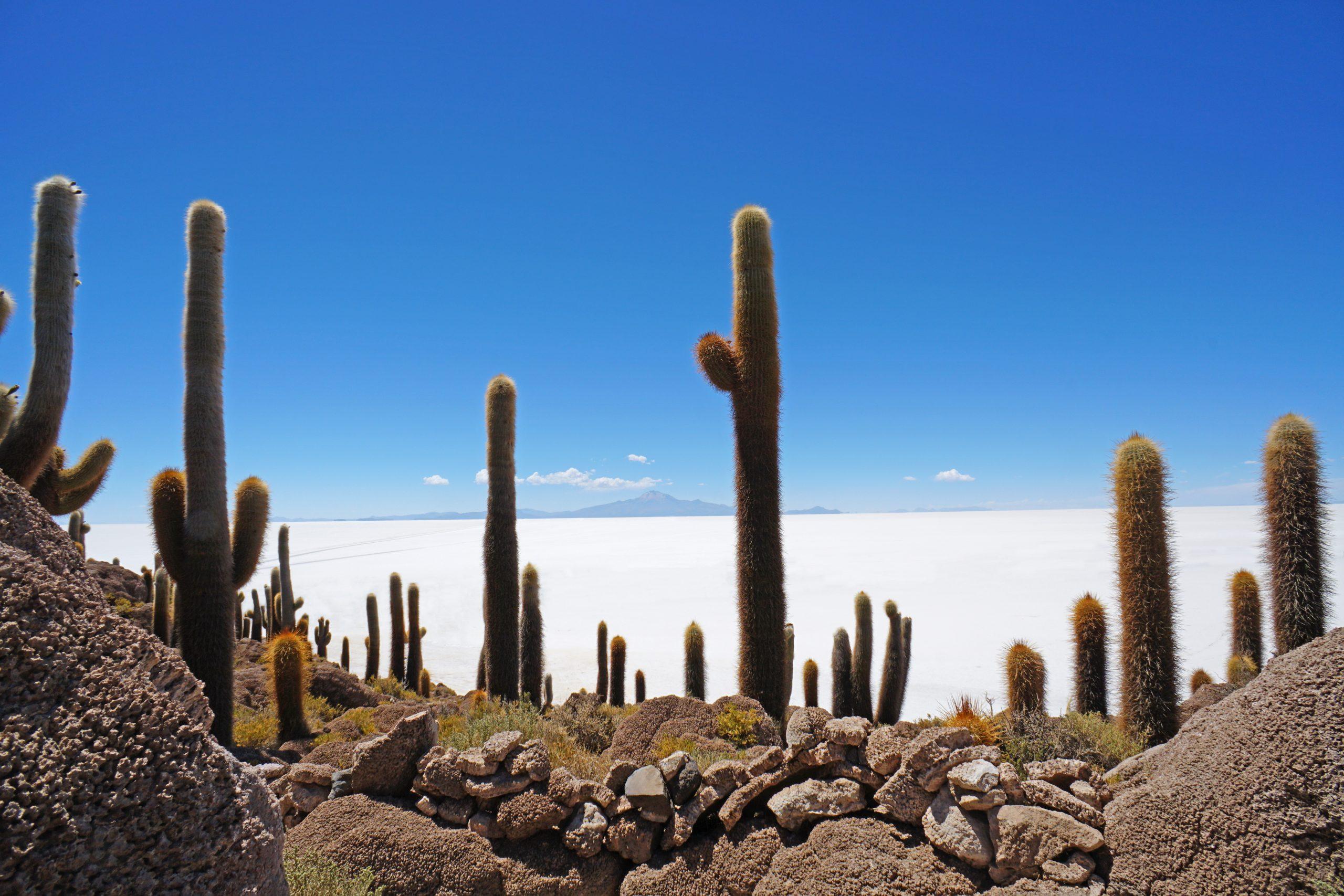 Radreise Südamerika 2019 - Isla Incuahuasi - Säulenkakteen (Echinopsis atacamensis)