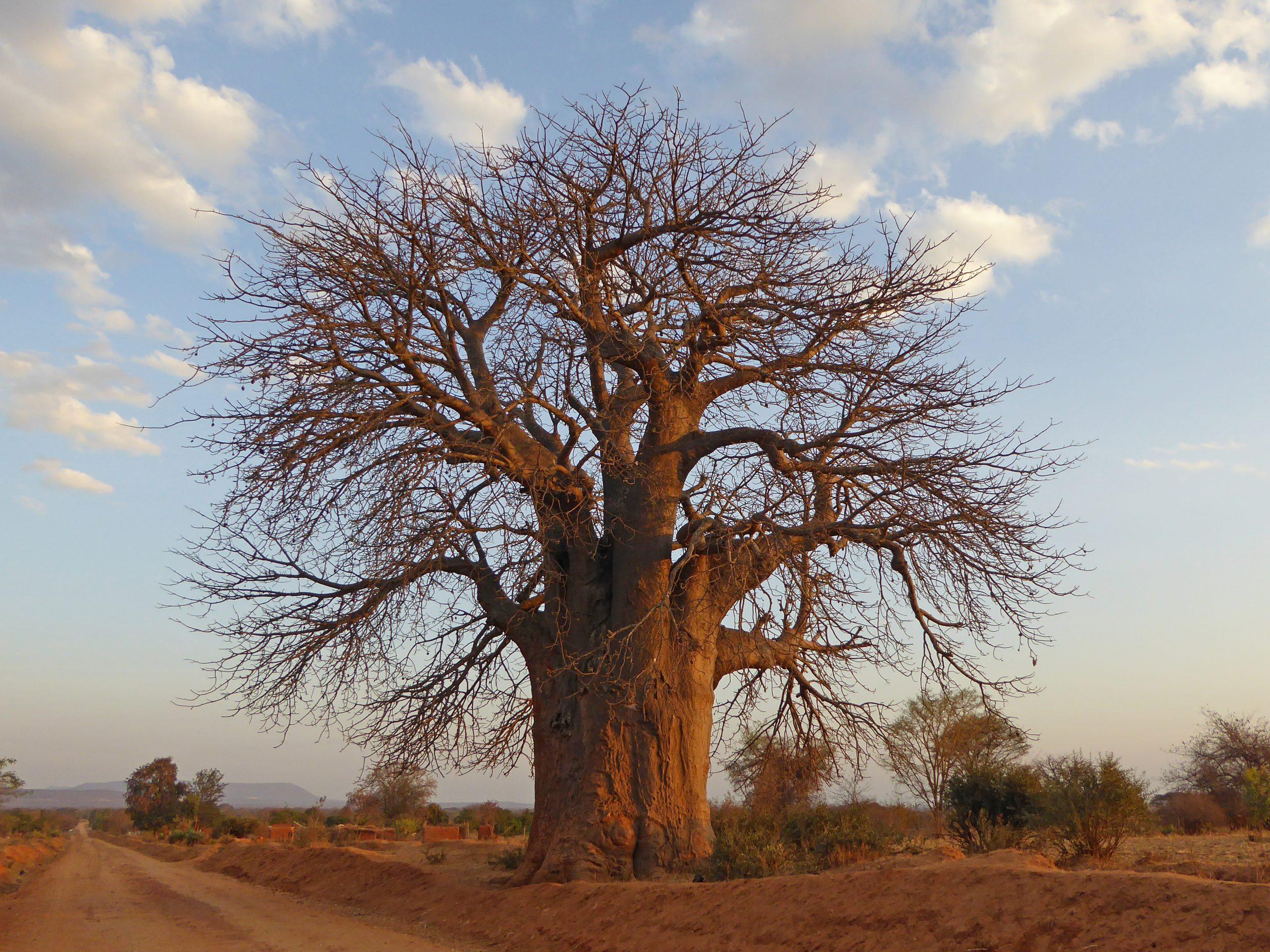 Radreise Afrika 2014 - Affenbrotbaum (Baobab)
