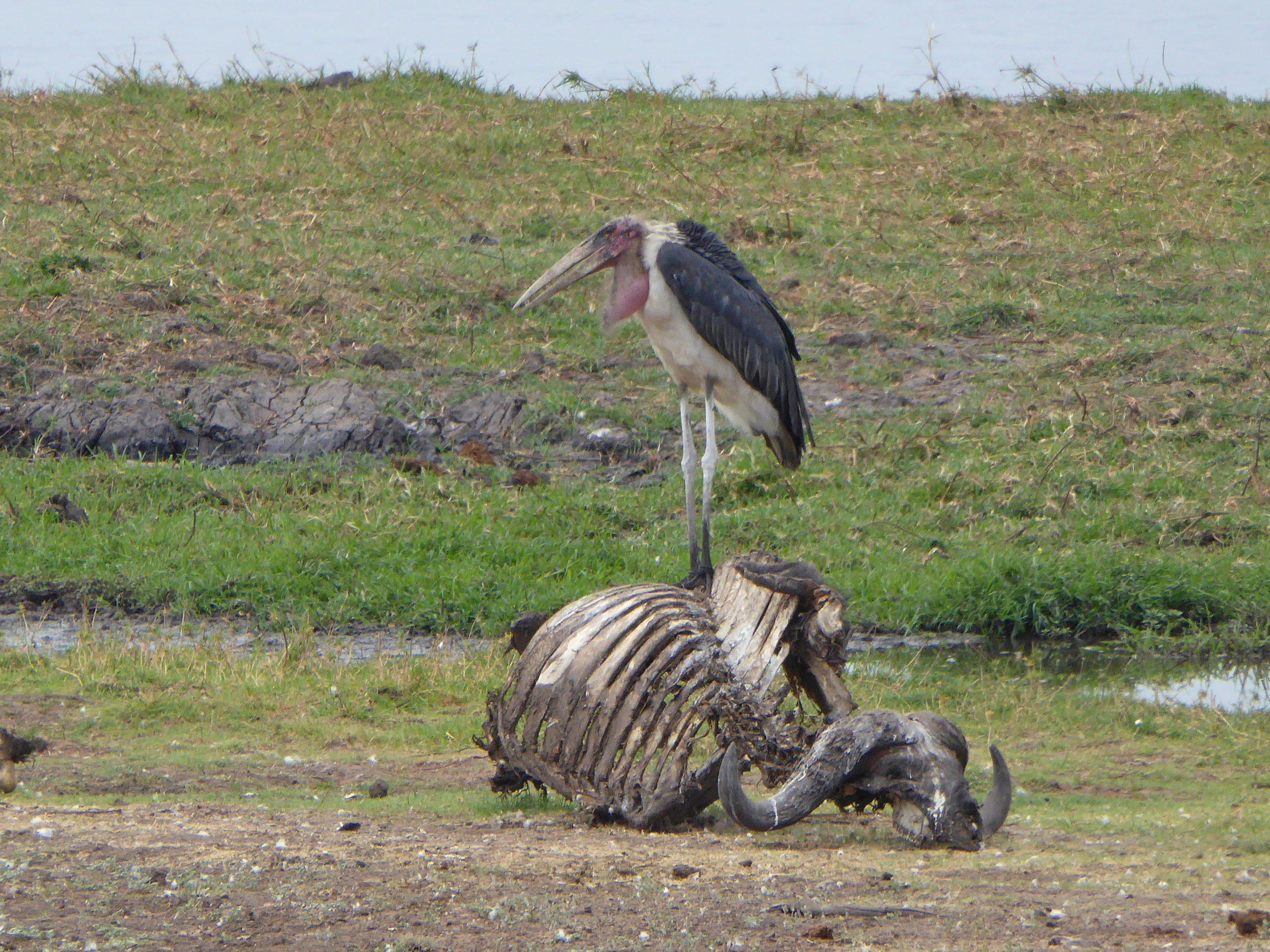 Radreise Afrika 2014 - Chobe NP - Storch (Marabu) und Skelett eines Kaffernbüffels