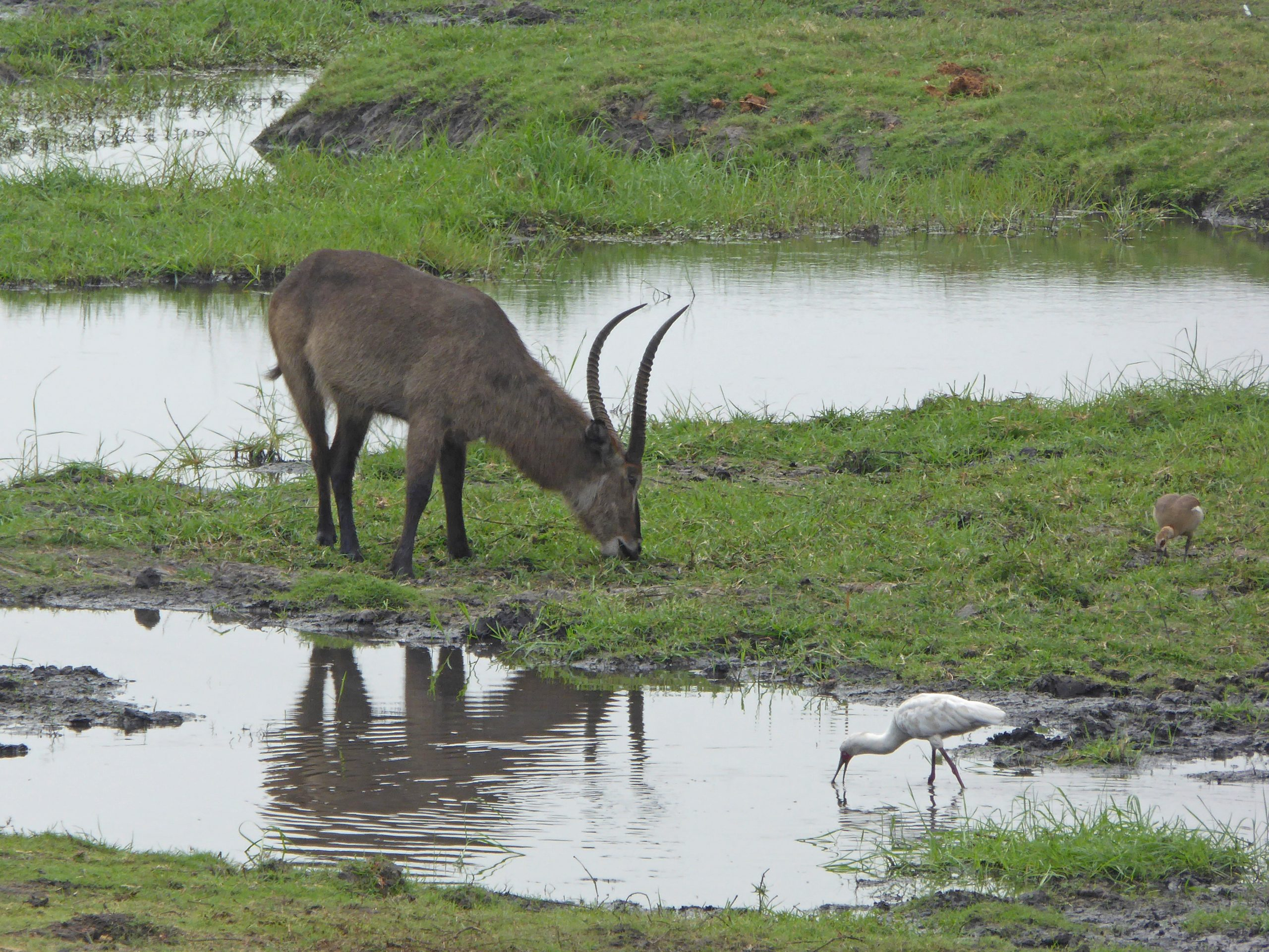 Radreise Afrika 2014 - Chobe NP - Wasserbock