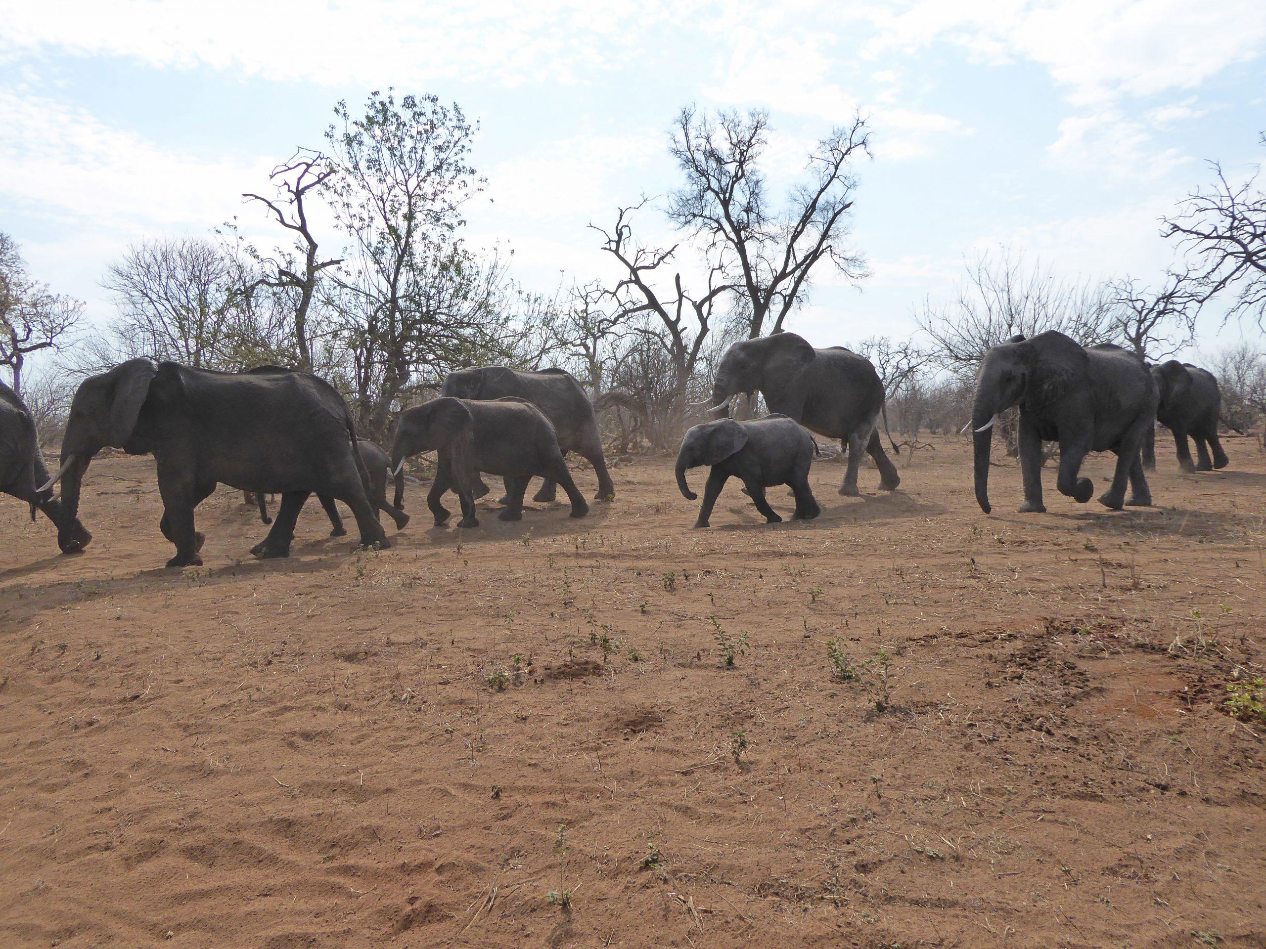 Radreise Afrika 2014 - Chobe NP - Elefantenherde