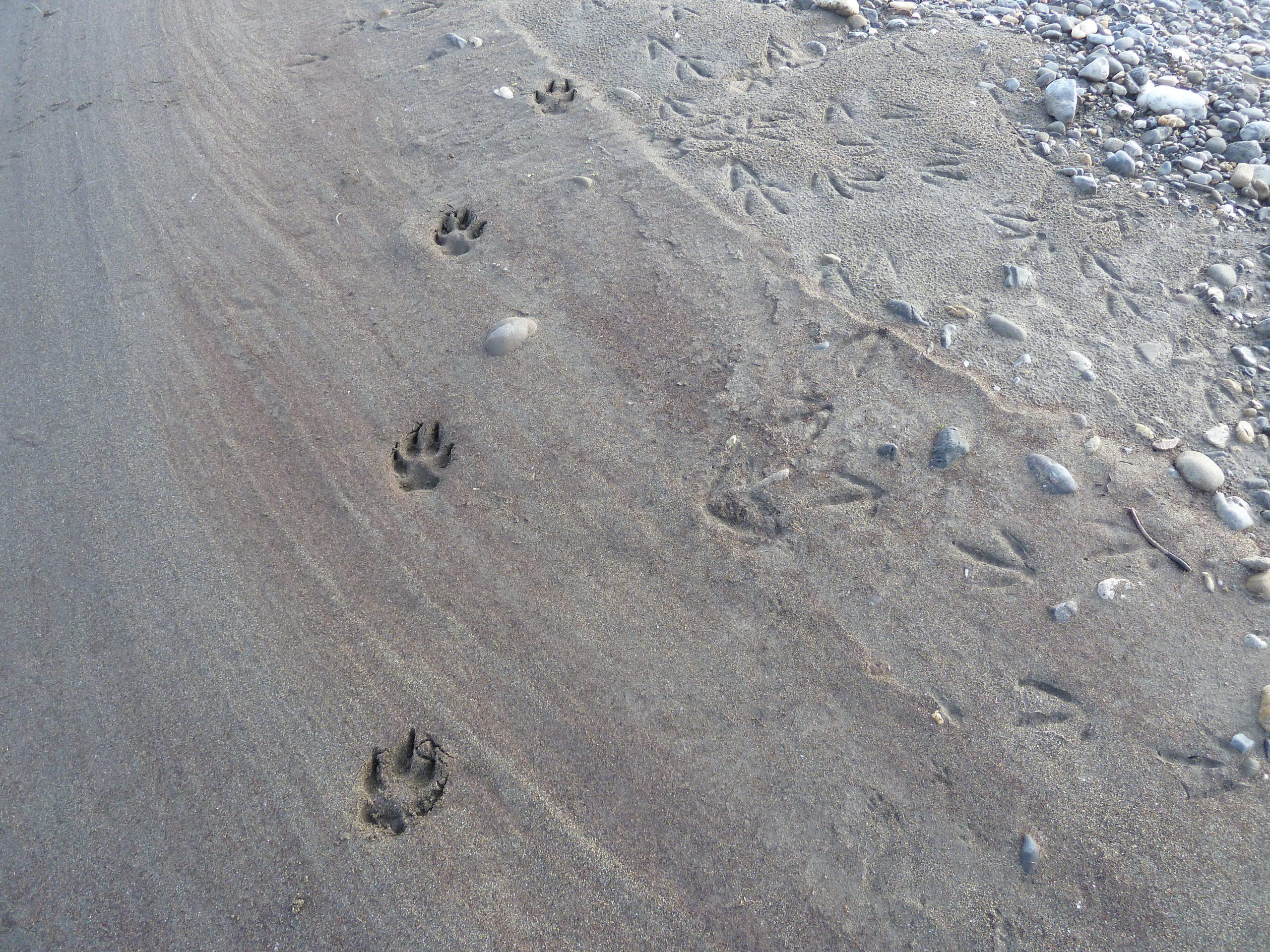 Radreise Alaska 2010 - Wolf-Spuren am Sagavanirktok River