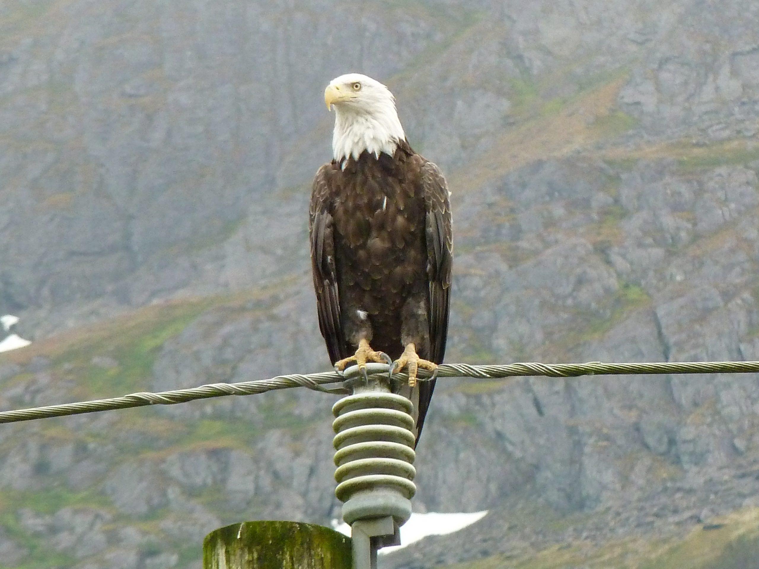 Radreise Alaska 2010 - Weißkopfseeadler