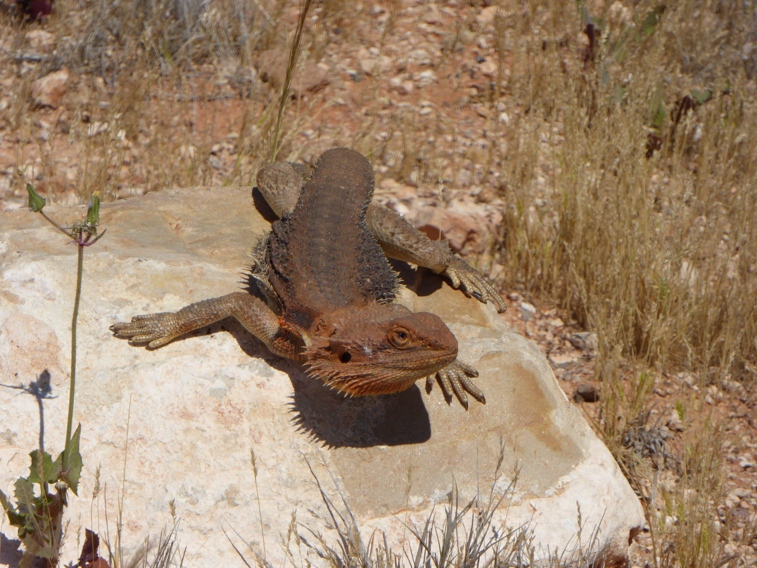 Radreise Australien 2016 - Streifenköpfige Bartagame (Pogona vitticeps)