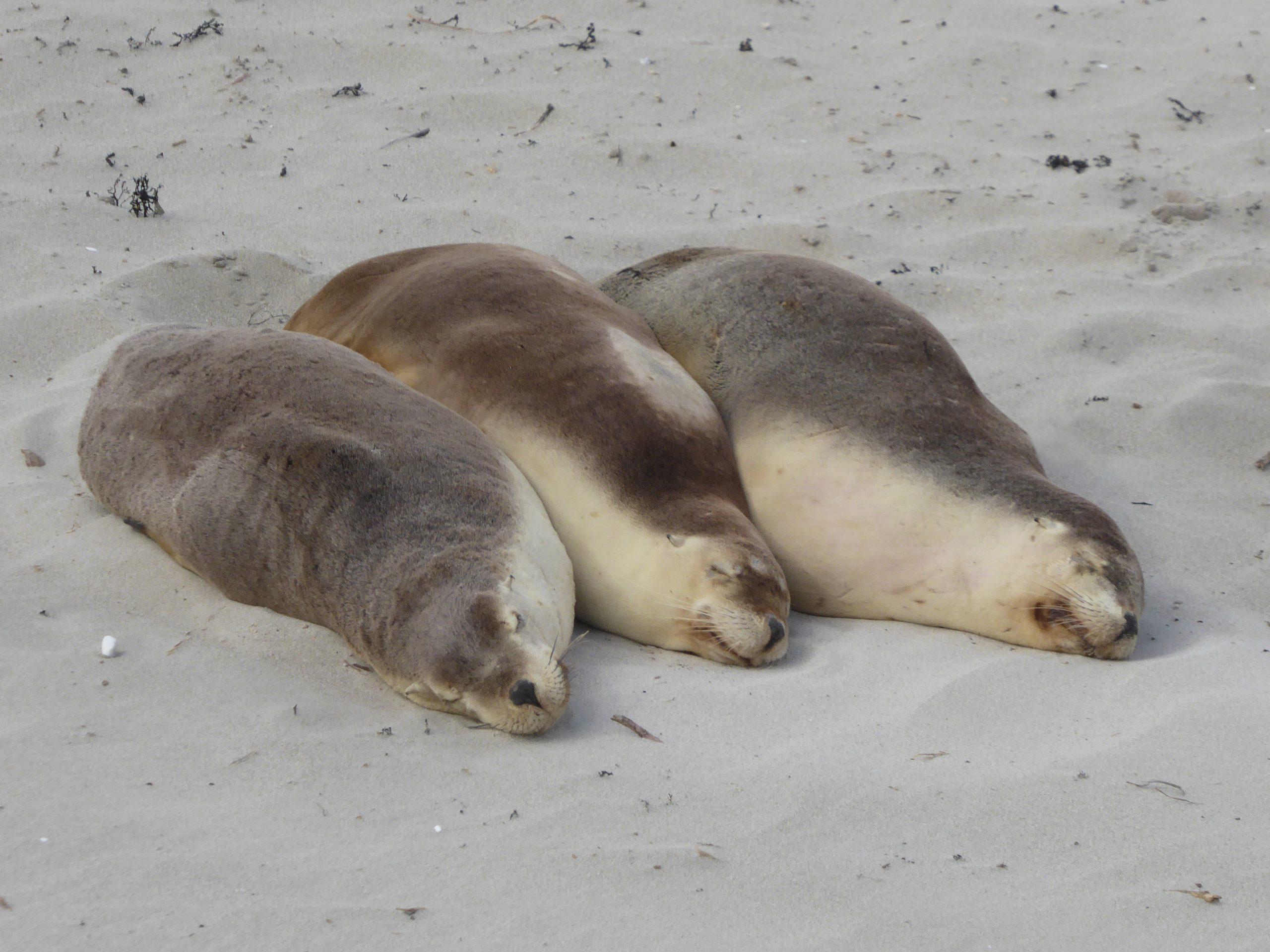 Radreise Australien 2016 - Kangaroo Island - Seelöwen