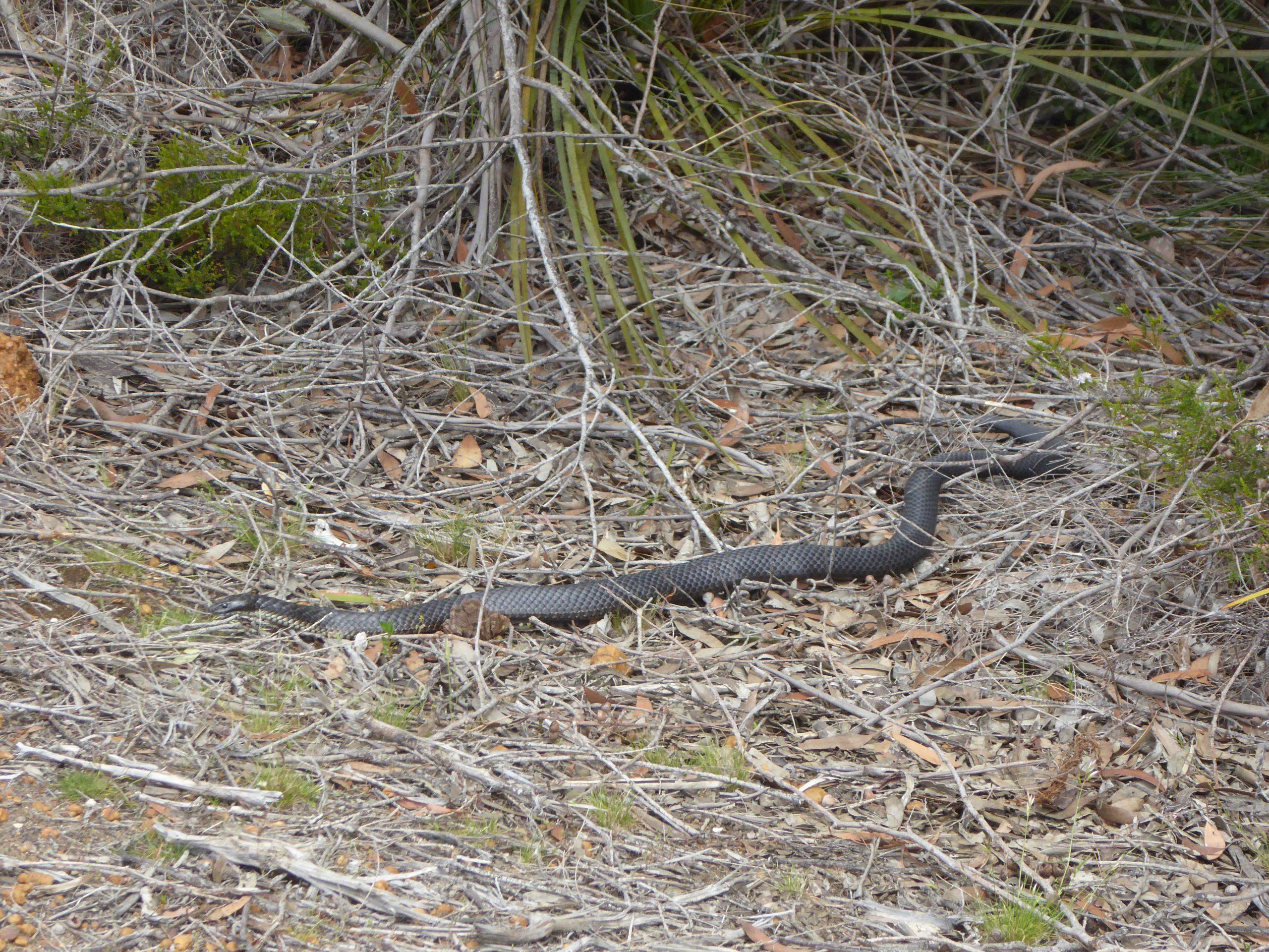 Radreise Australien 2016 - Kangaroo Island - Schwarze Tigerotter (Notechis ater)