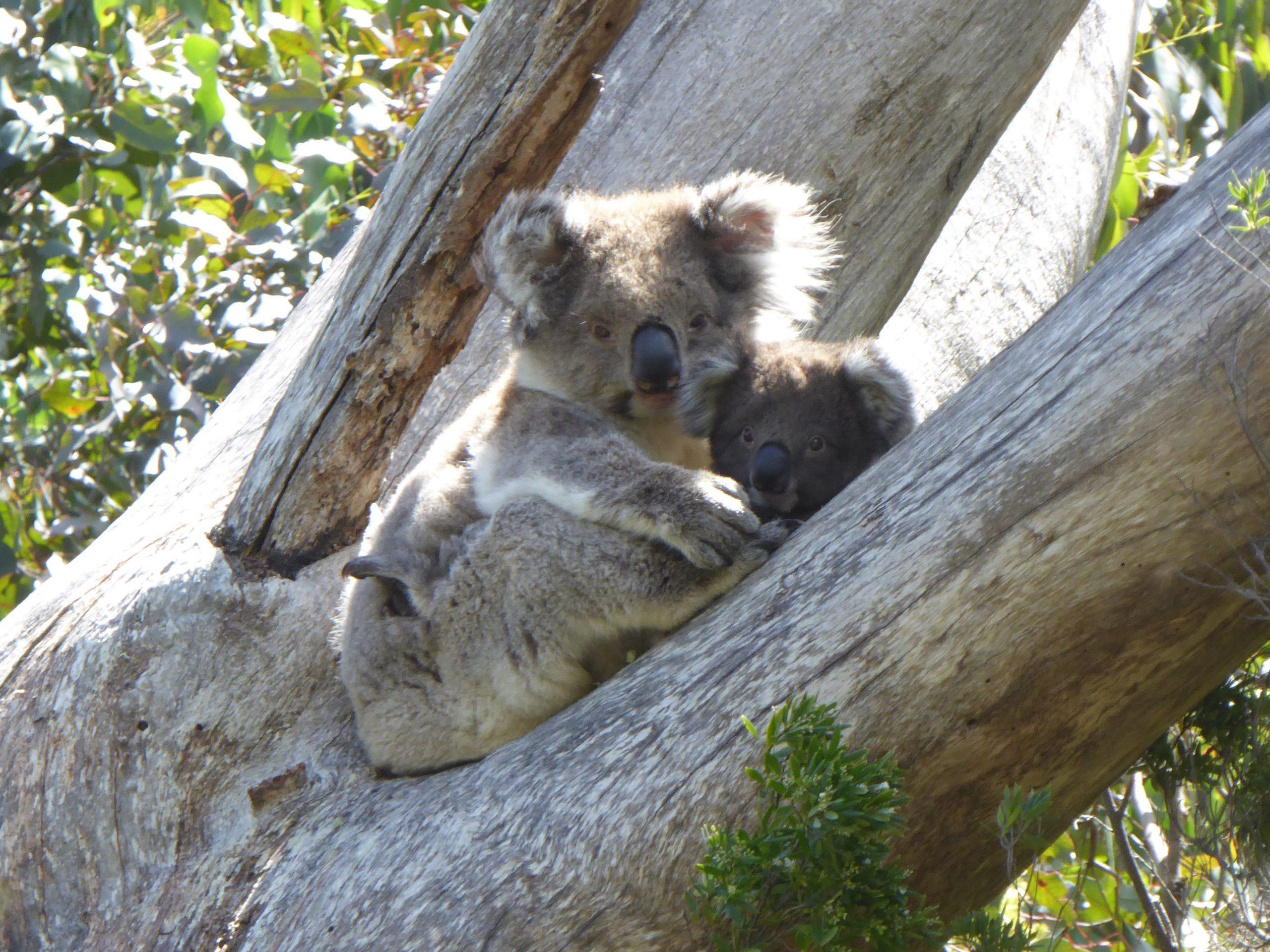 Radreise Australien 2016 - Koala
