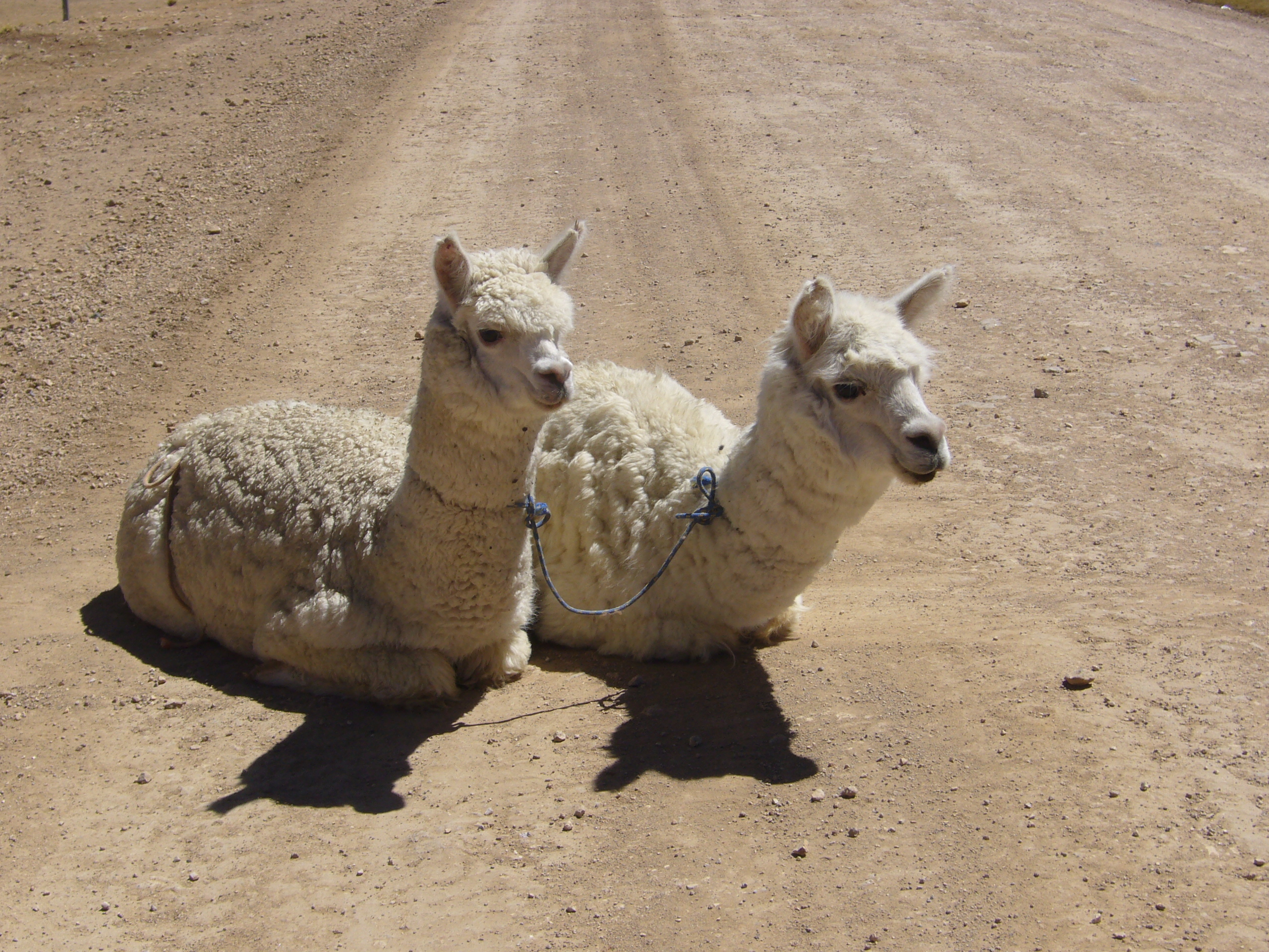 Radreise Peru 2008 - Alpakas