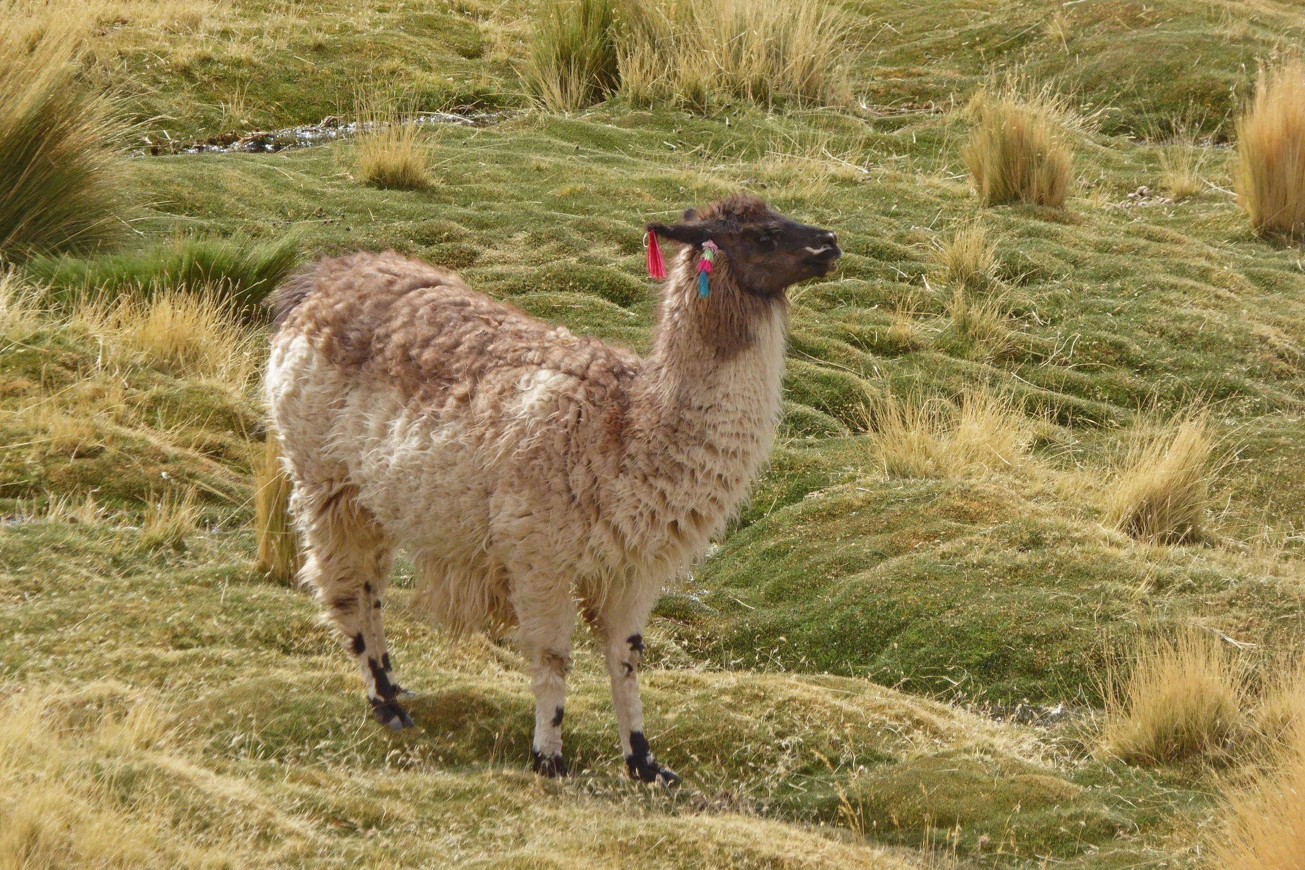 Radreise Südamerika 2019 - Alpaka