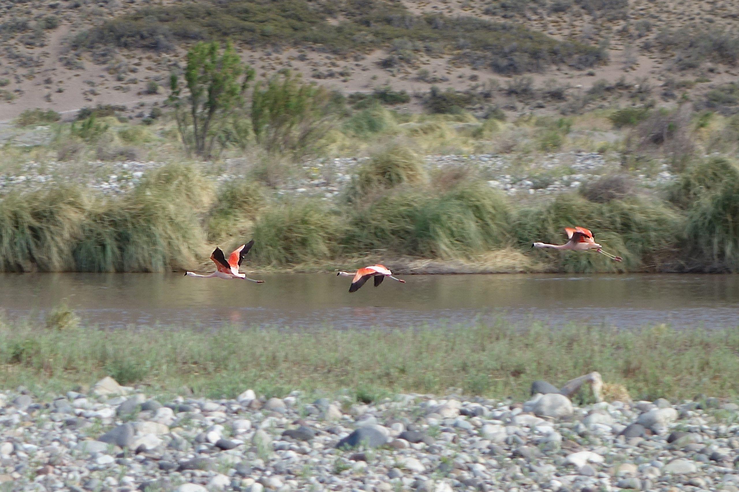 Radreise Südamerika 2019 - Flamingos am Rio Grande